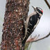 Male. Note: short bill, black marks on white outer tail feathers.