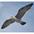 Adult nonbreeding in flight.